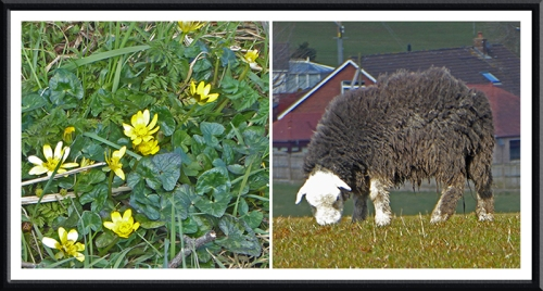 celandine and sheep