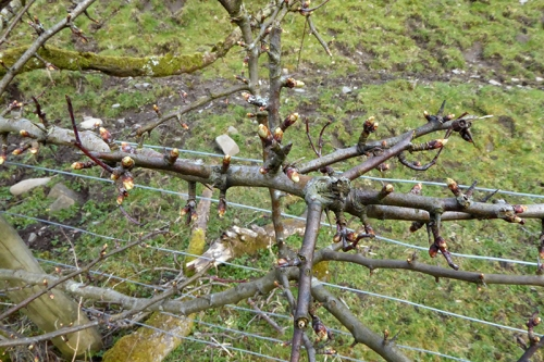 hawthorn buds