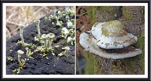 lichen and fungus