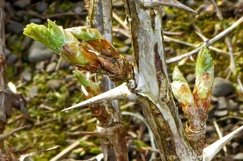 gooseberry bud
