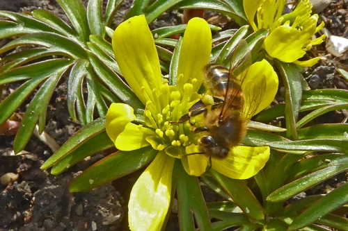 bee on aconite