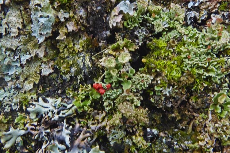 lichen on Callister wall