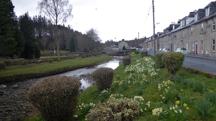 daffodils on Wauchope