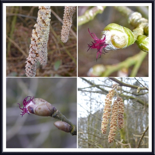 hazel catkin and flower