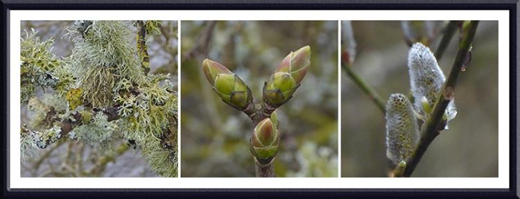 lichen and buds