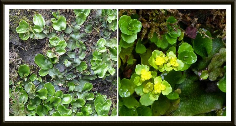 liverwort and golden saxifrage