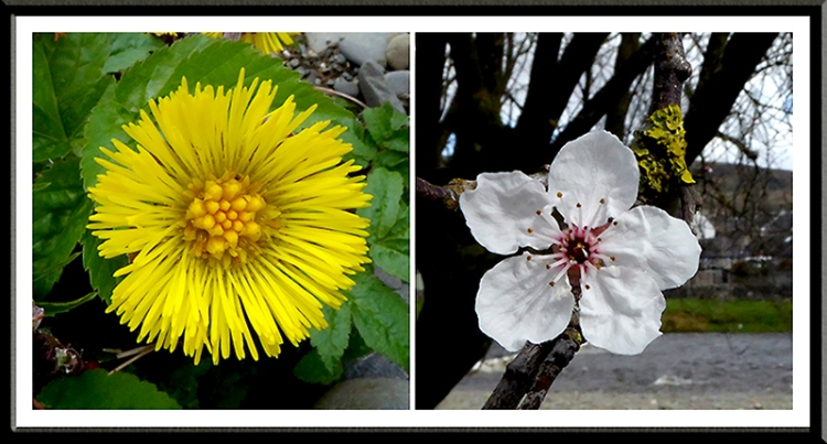 coltsfoot and cherry