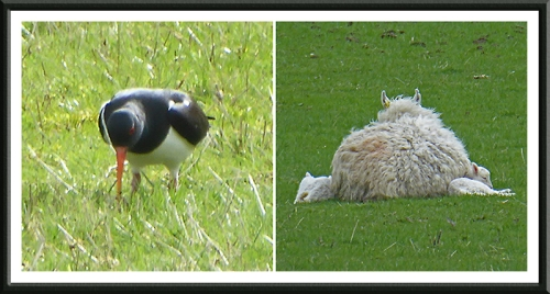 oyster catcher and lambs