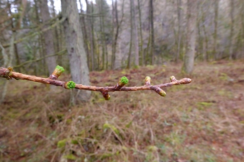 larch bursting