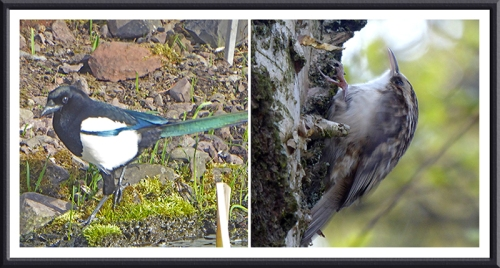 magpie and tree creeper