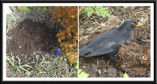 compost and blackbird