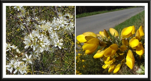 blackthorn and gorse