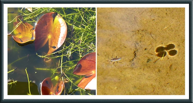 tadpole and water boatman
