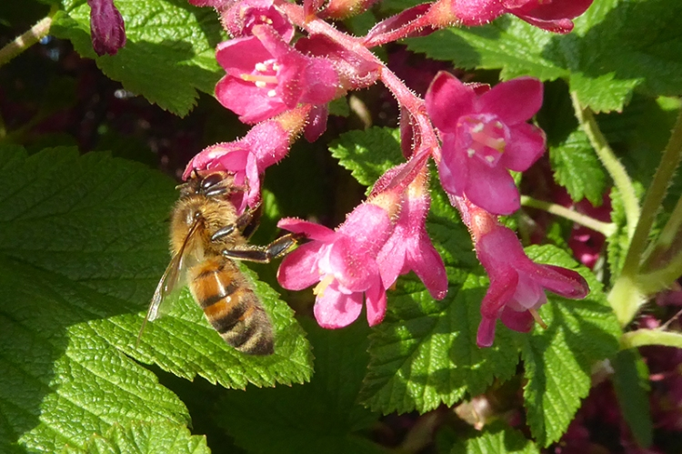 bee on currant
