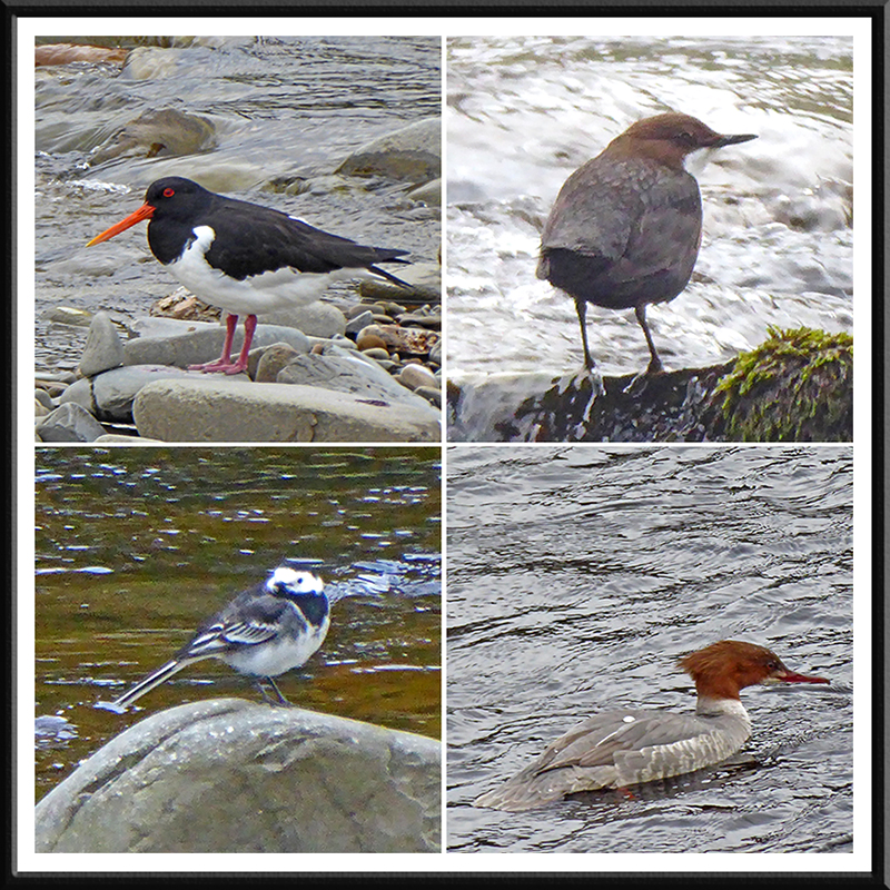 oyster catcher, dipper, wagtail and goosander