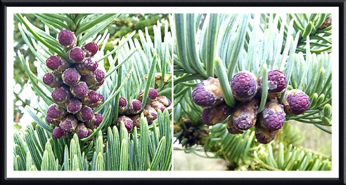 male noble fir flowers