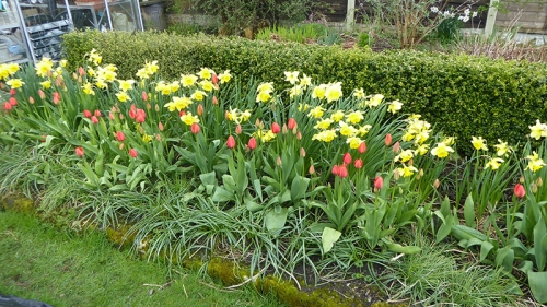 tulips and affodils