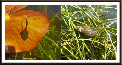 tadpole and snail in pond