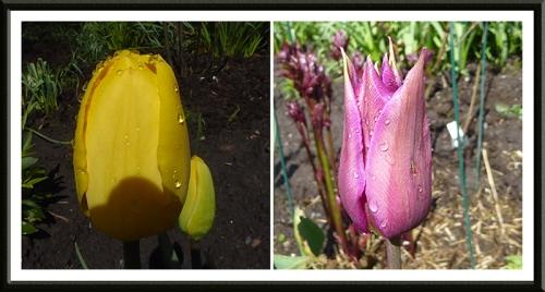 tulips with rain drops