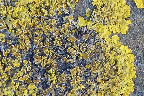 Edinburgh lichen