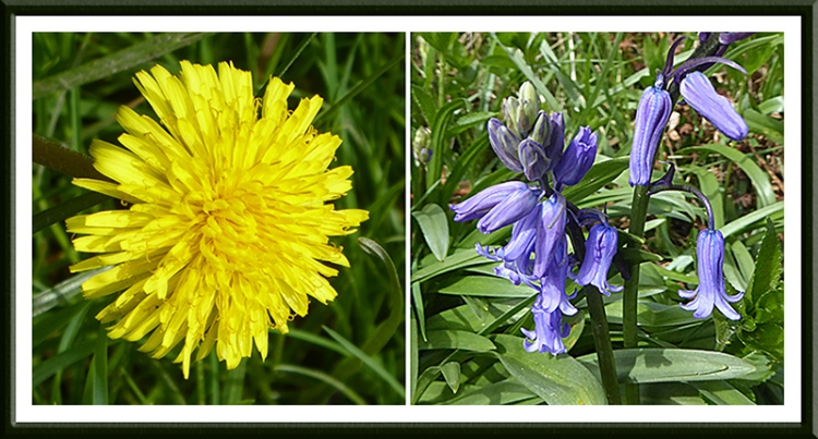 dandelion and bluebell