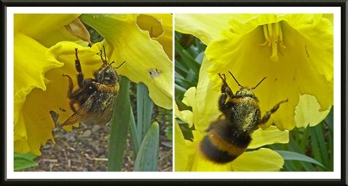 bumble bee on daffodil