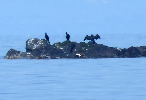 cormorants NB
