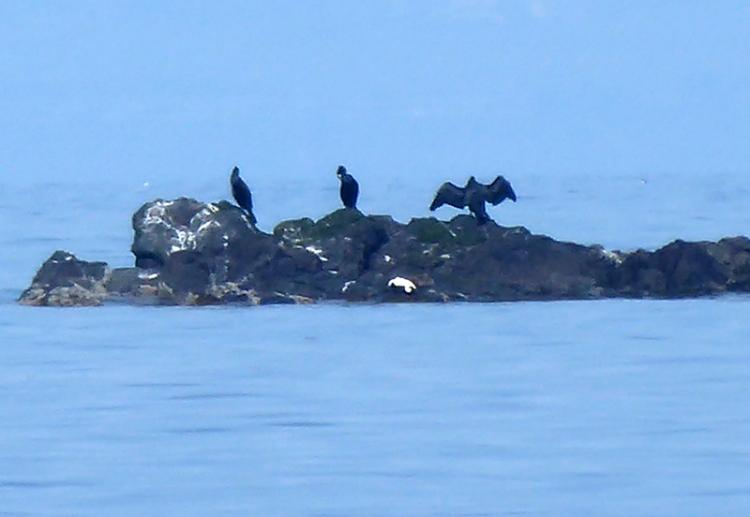 cormorants NB