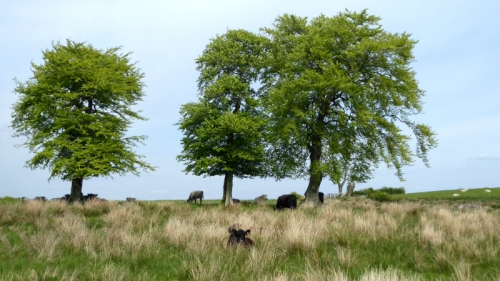 cows and tree