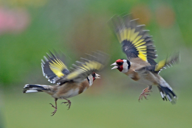 goldfinches quarrelling
