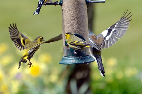 siskin and chaffinch flying