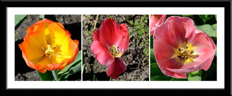 tulip centres