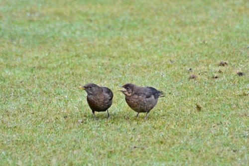 blackbird baby