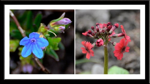 lithodora and primula