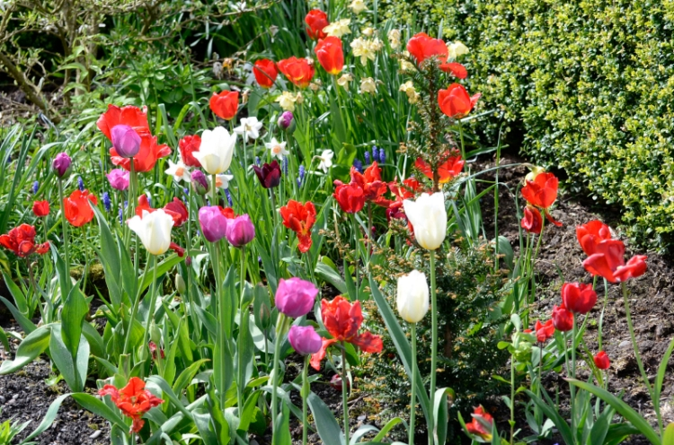 colourful corner tulips