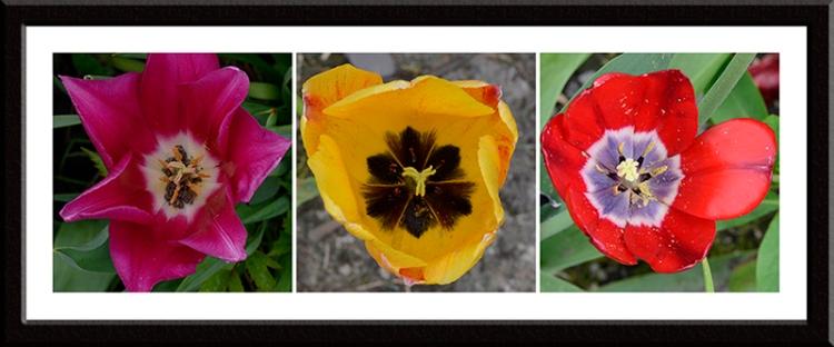 tulip hearts