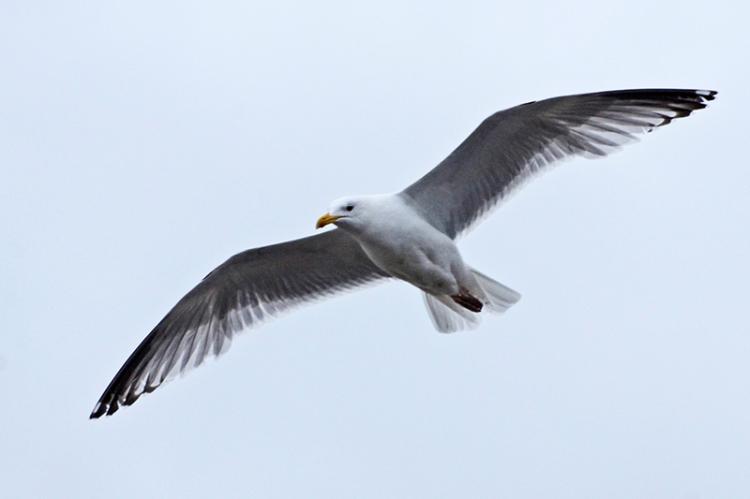 flying gull (2)