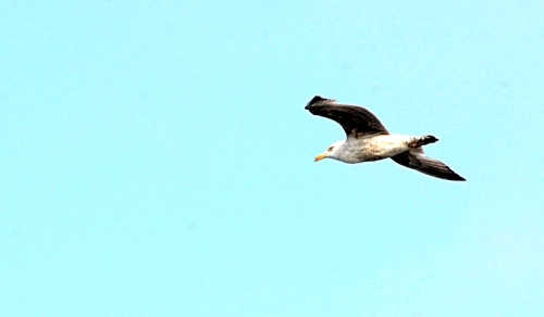 flying gull tues