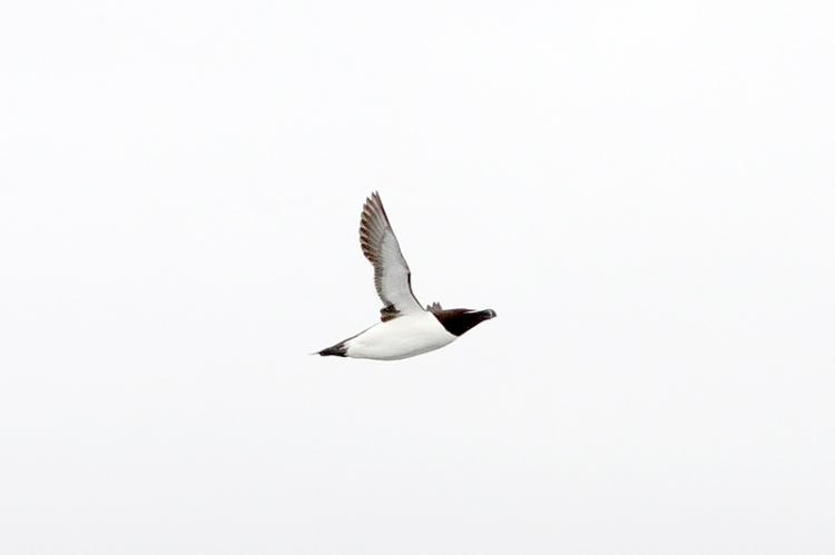 flying razorbill