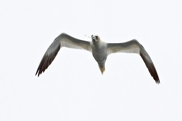 gannet (2)