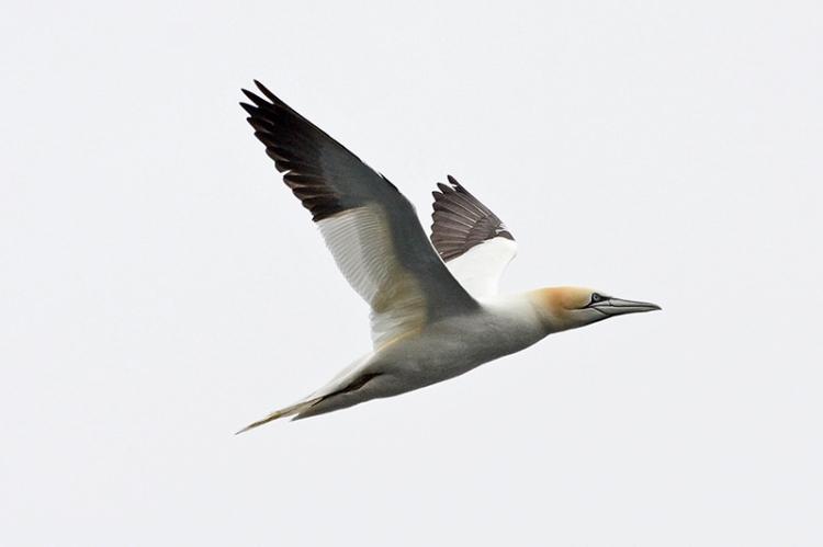 gannet (3)