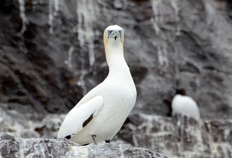 gannet (4)