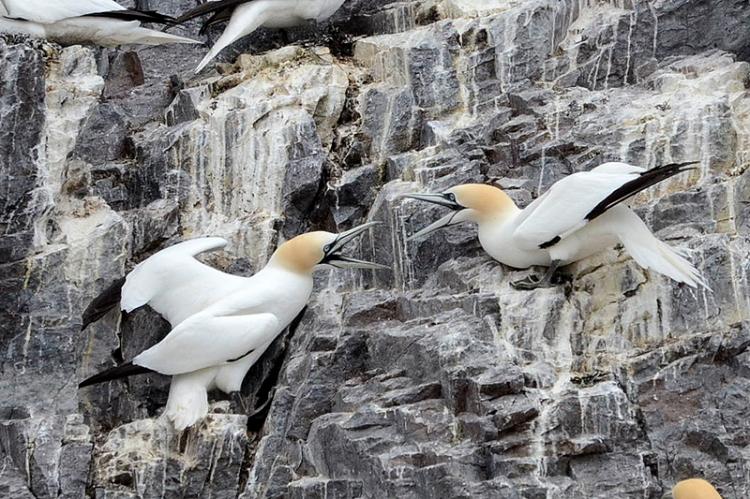 gannet arguing