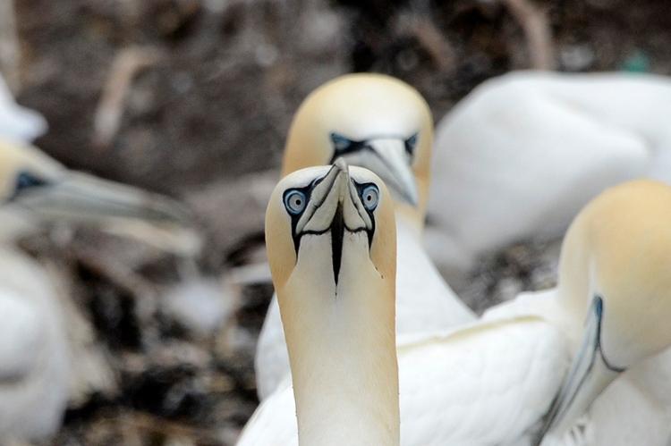 gannet staring