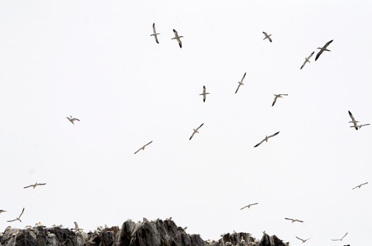 gannets 18 (2)