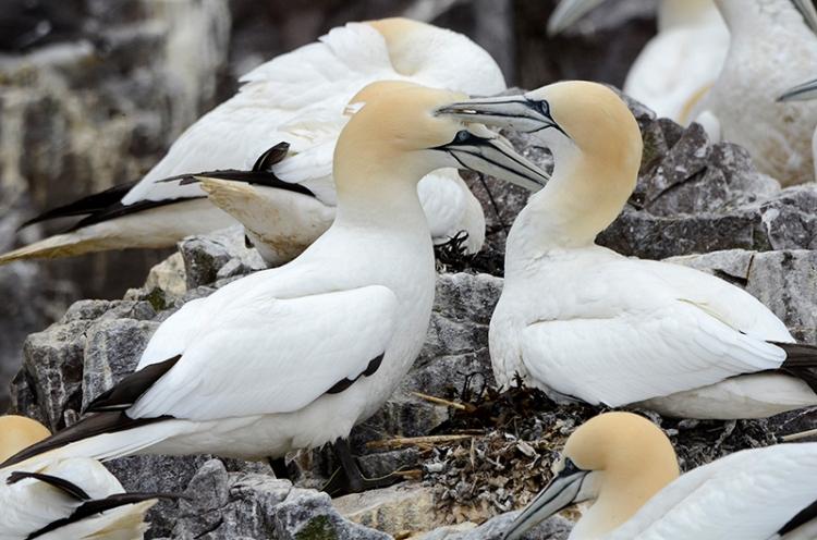 gannets grooming