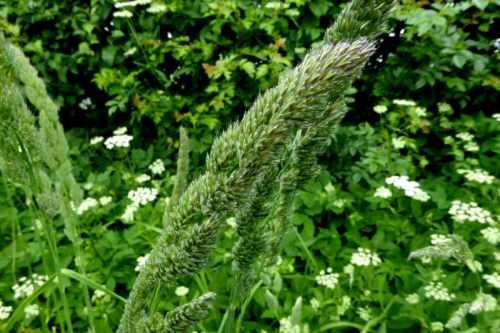 grass big