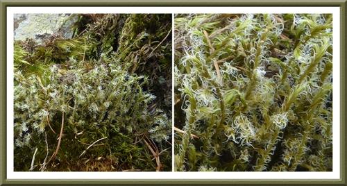 hairy moss