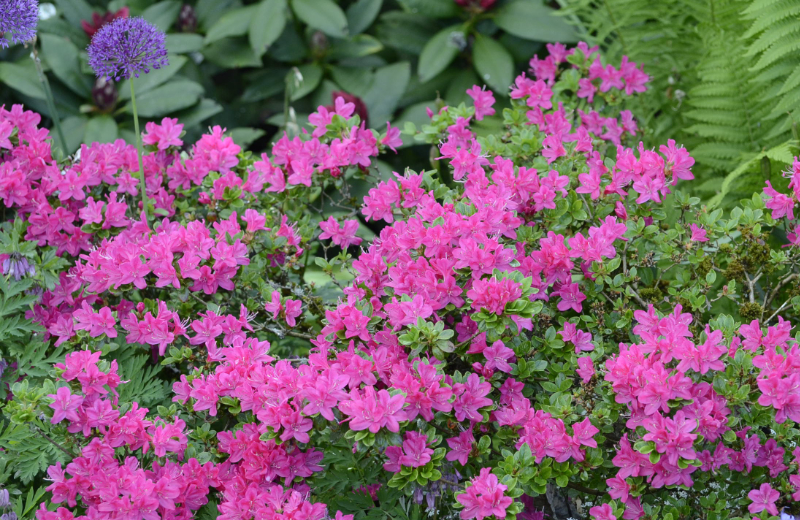 Japanese azalea