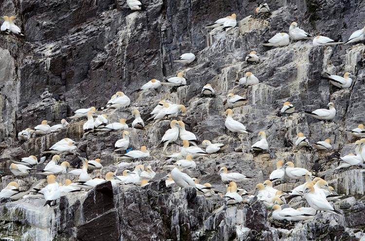 lots of gannets